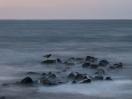 Austernfischer auf einem Stein