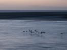 Austernfischer-Wischer